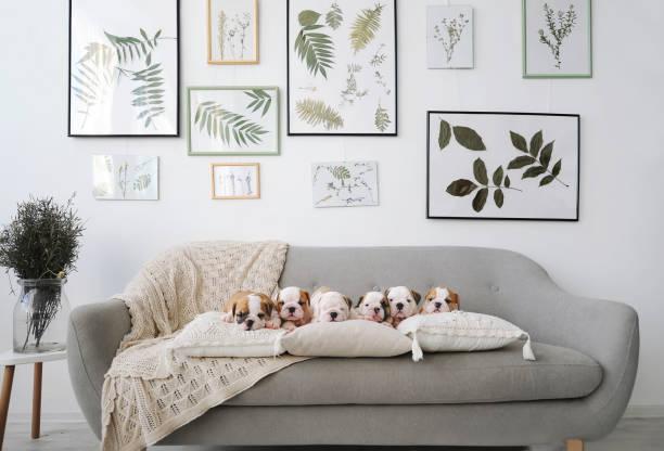 Seis filhotes de cachorro bulldog inglês sentado no sofá cinza no quarto. - foto de acervo