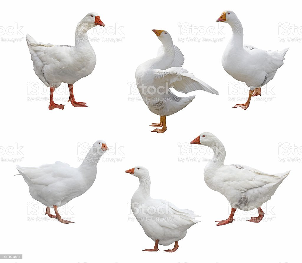 Six Geese stock photo