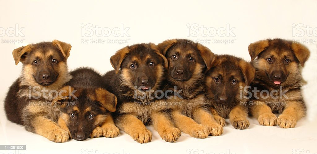 Six German Shepherd Puppies Stock Photo More Pictures Of Alertness