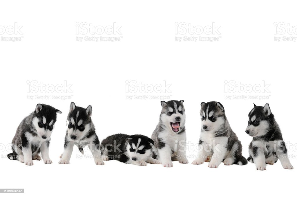 Six husky puppy siblings with and black white fur stock photo