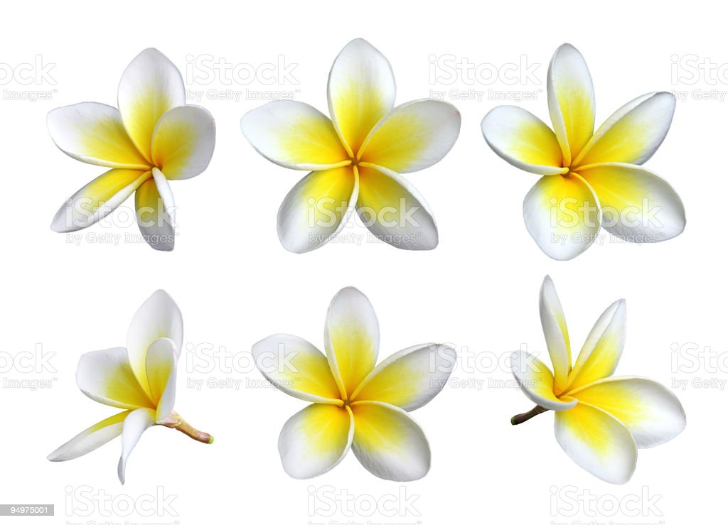 Six images of individual frangipani blooms stock photo