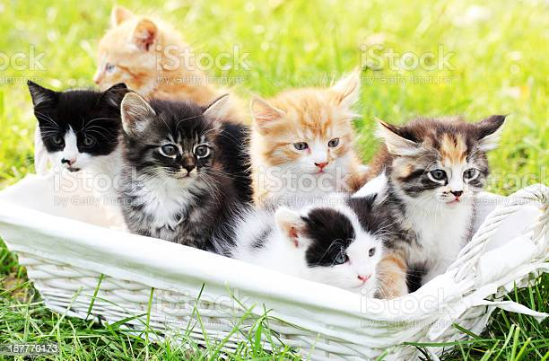 Six little cats in basket outdoor picture id157770173?b=1&k=6&m=157770173&s=612x612&h=hp8xcygjmkslvckpdsg toemvtyu25q gvpfqbyshqe=
