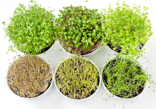 Six microgreens and sprouts in white bowls from above Six microgreens and sprouts in white bowls from above. Shoots of alfalfa, Chinese cabbage, garlic, kale, lentils and radish in potting compost. Green seedlings, young plants and cotyledons. Food photo microgreen stock pictures, royalty-free photos & images