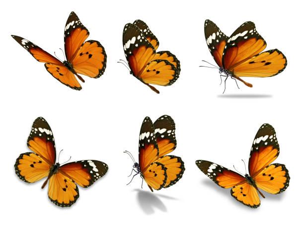 Six monarch butterfly picture id680833460?b=1&k=6&m=680833460&s=612x612&w=0&h=vx4ofvptwpy ypd6rgmfvdeqr av7cioixaaucsk9bg=