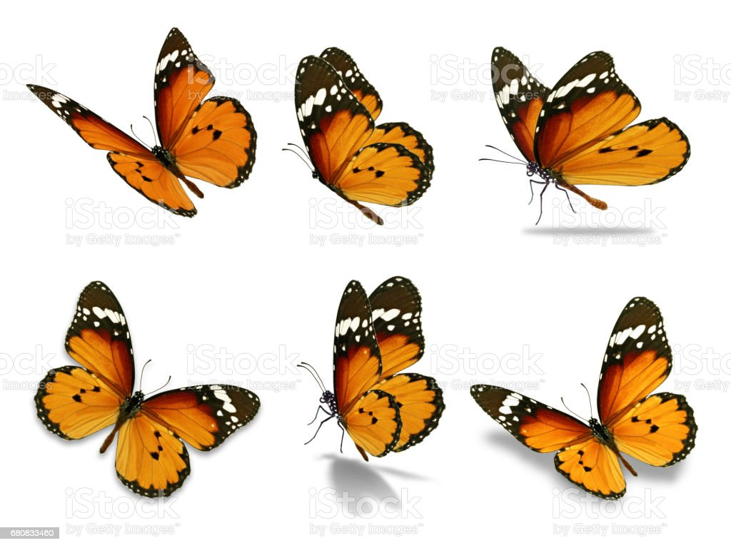 six monarch butterfly stock photo
