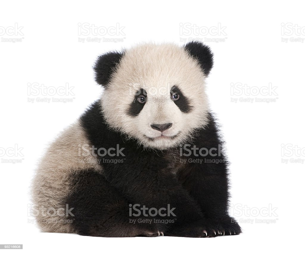A six month old giant panda on a white background stock photo