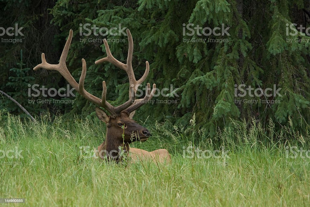 Six point bull elk with felt on antlers royalty-free stock photo