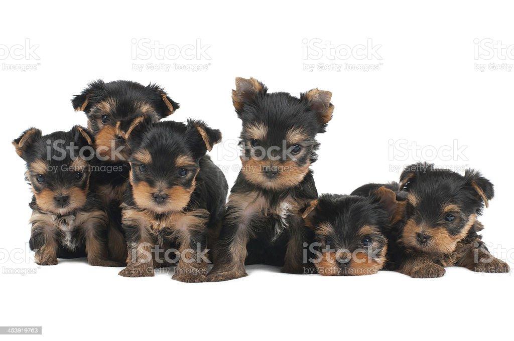 Six puppies royalty-free stock photo