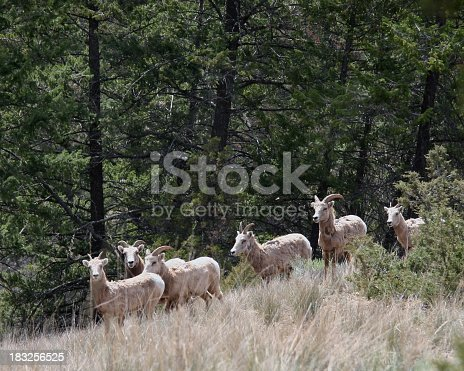 Mountain Sheep looking into camera. Springtime. Close up.Starting to shed their winter fur.