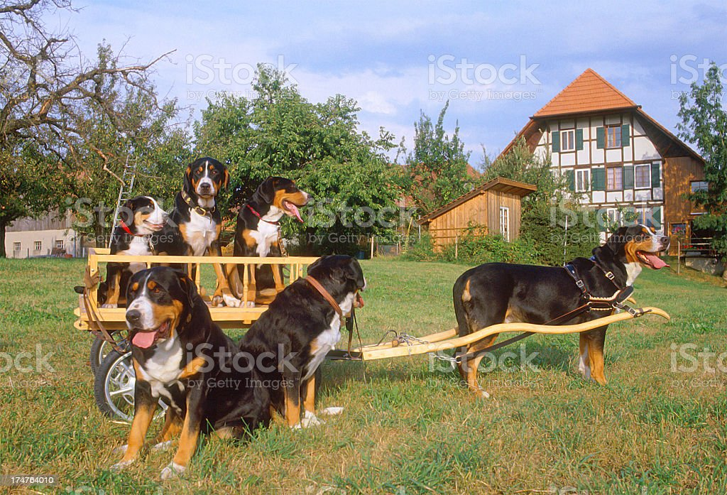 Six sennenhund dogs, swiss cattle dogs on wooden cart, portrait stock photo