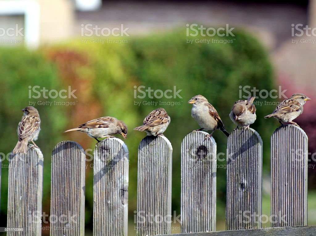 Six sparrows sitting on a fence stock photo