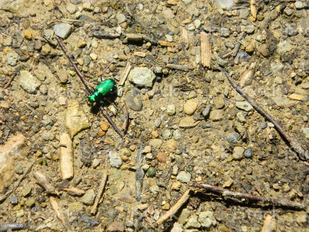 Six Spotted Tiger Beetle stock photo