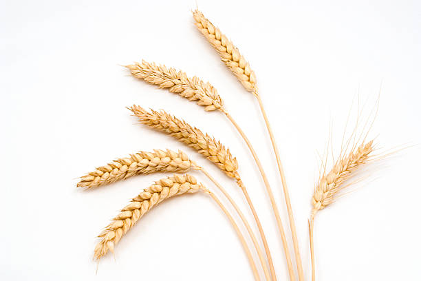Six stems of wheat on a white background Wheat stems,on white background. plant stem stock pictures, royalty-free photos & images