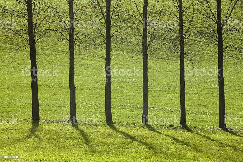 Six straight trees on green royalty-free stock photo