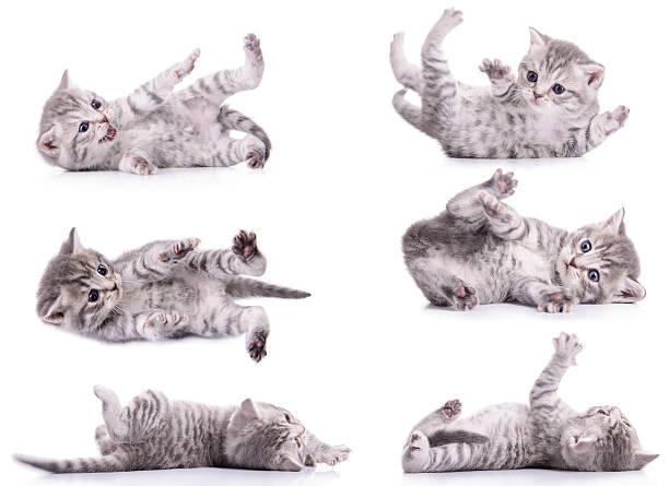 Seis atigrado kittens escocés - foto de stock