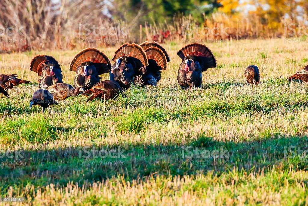Six Tom Turkeys stock photo