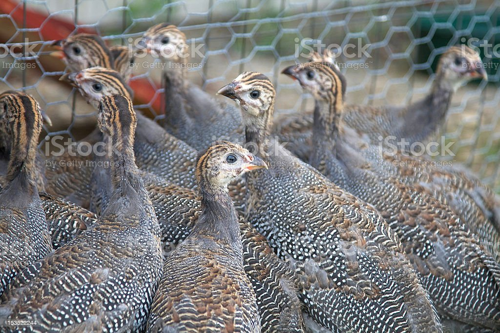 Six Week Old Guinea Fowl Keets Stock Photo Download Image Now