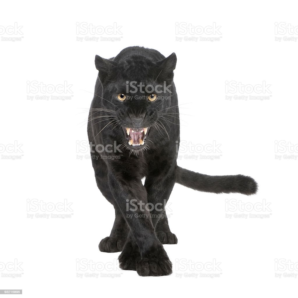 A six year old black leopard on a white background stock photo