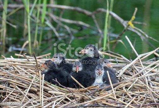Eurasian coot chicks sitting in their nest.