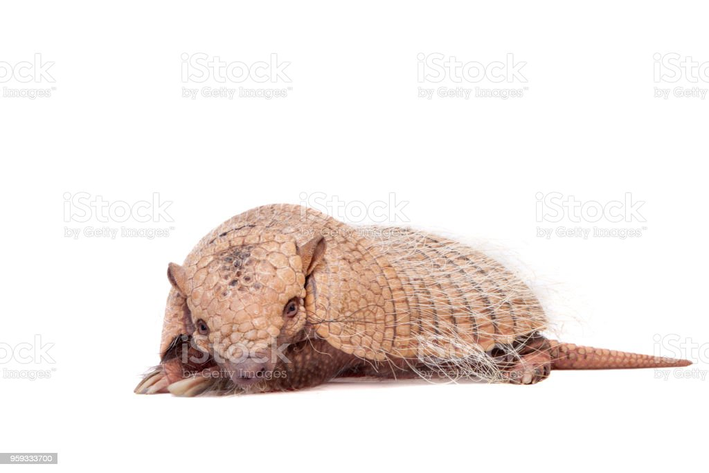 Six-banded armadillo on white stock photo