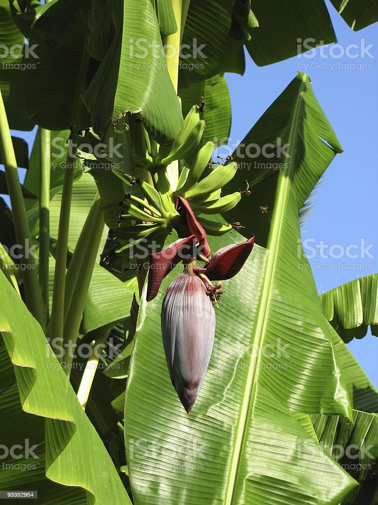Sizilianische Bananen royalty-free stock photo