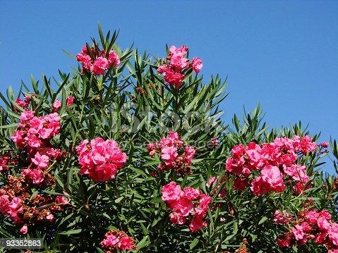 Sizilianischer Oleander