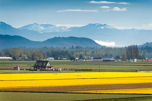 Skagit Valley Daffodil Field.