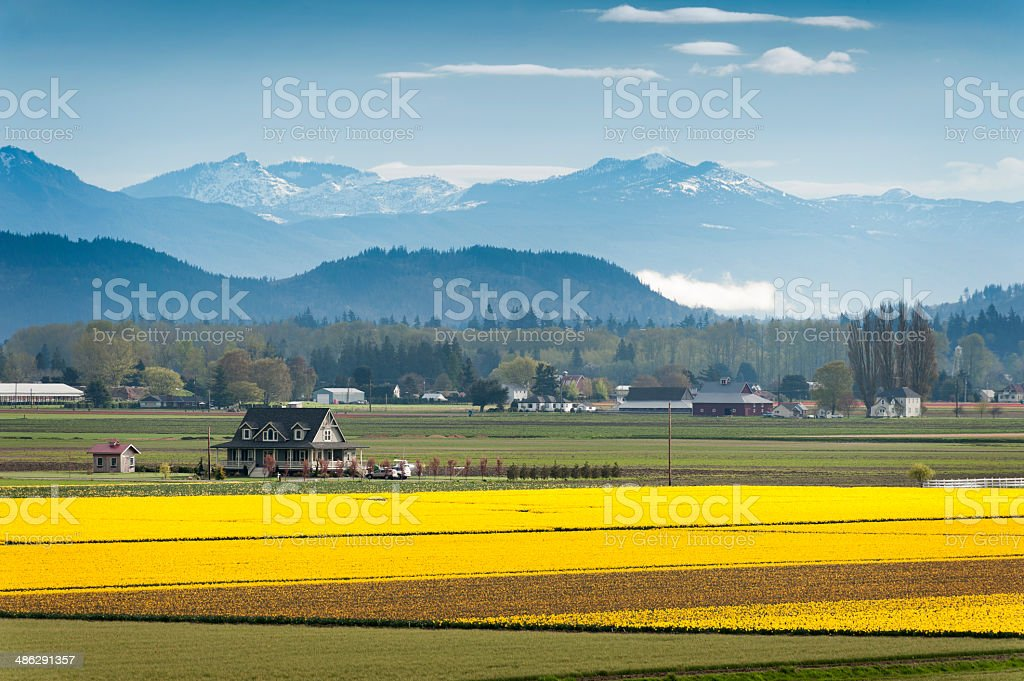 Skagit Valley Daffodil Field. stock photo