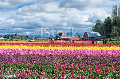 Mount Vernon, Washington USA - April 13, 2017: Sunny afternoon, its the blooming of Skagit valley tulip field in Mount Vernon Washington.