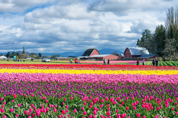 Skagit Valley Tulip Festival stock photo