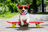 jack russell terrier dog  riding a skateboard as a skater , with sunglasses in summer vacation