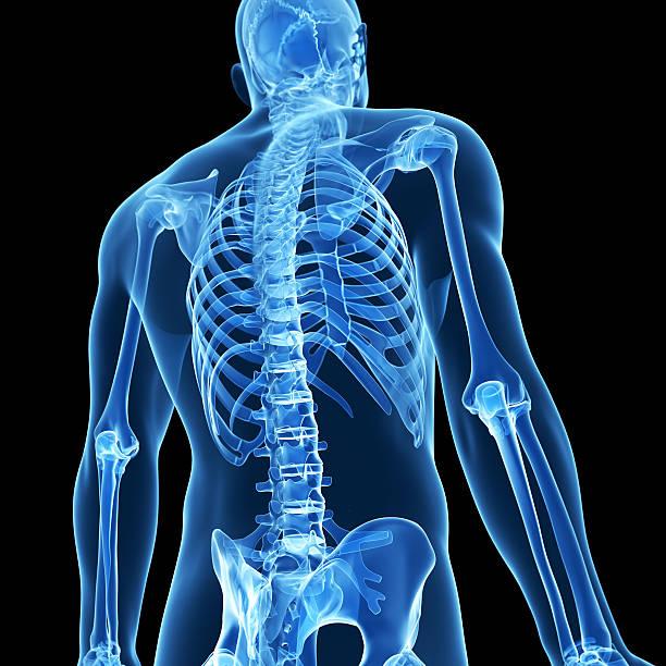 posterior del esqueleto - espalda humana fotografías e imágenes de stock