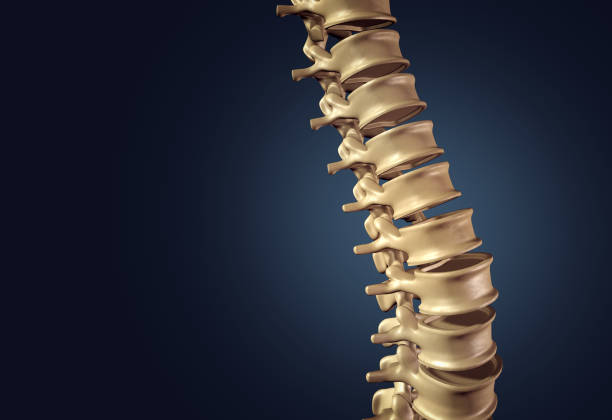 Skeletal Human Spine Skeletal human spine and vertebral column or intervertebral discs on a dark background as a medical concept as a 3D illustration. human vertebra stock pictures, royalty-free photos & images