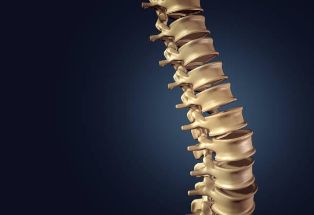 skeletal human spine - spina dorsale umana foto e immagini stock