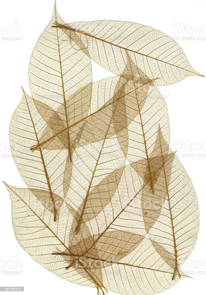 Skeletal Leaves royalty-free stock photo