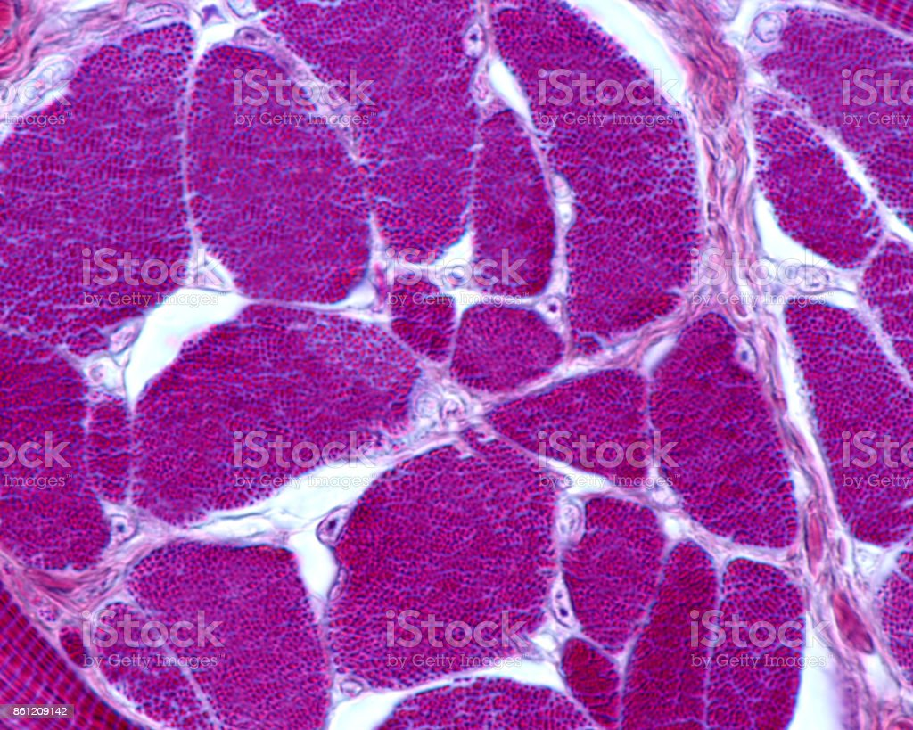Skeletal muscle fibers. Myofibrils stock photo