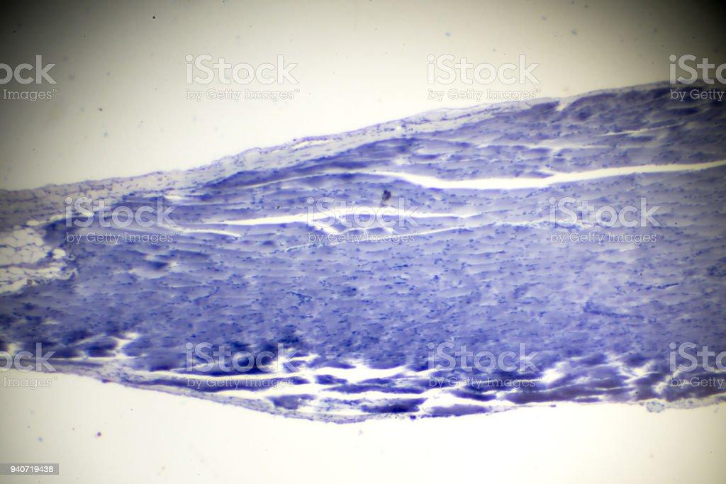 skeletal muscle longitudinal section in microscopy stock photo