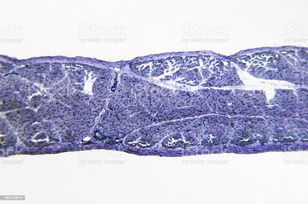 Skeletal Muscle TS royalty-free stock photo
