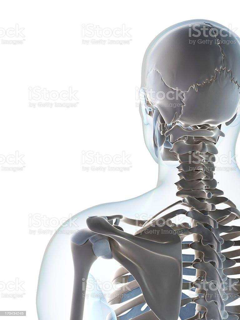 skeletal neck royalty-free stock photo