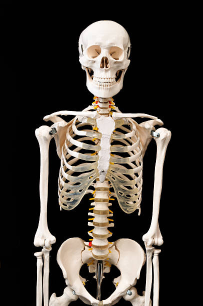 skeletal preparations - human skeleton stock photos and pictures