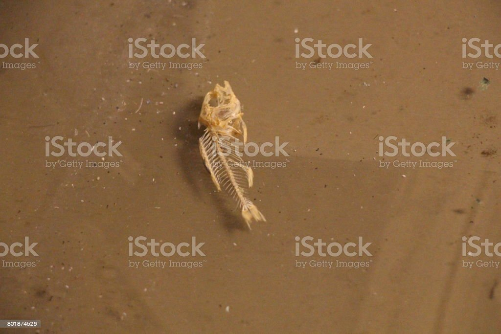 skeletal remains of a small fish (crescent perch) stock photo