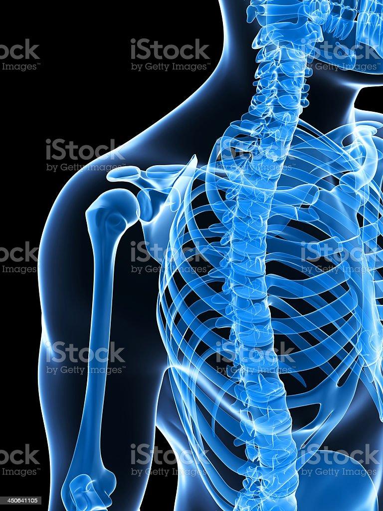 skeletal shoulder royalty-free stock photo