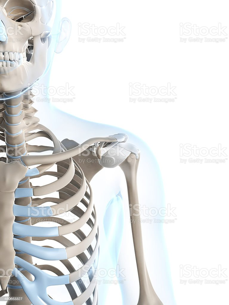 skeletal shoulder stock photo
