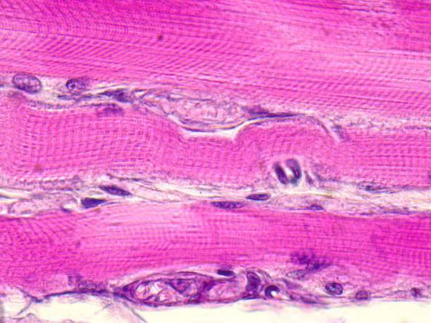 Skeletal striated muscle tissue under the microscope. stock photo