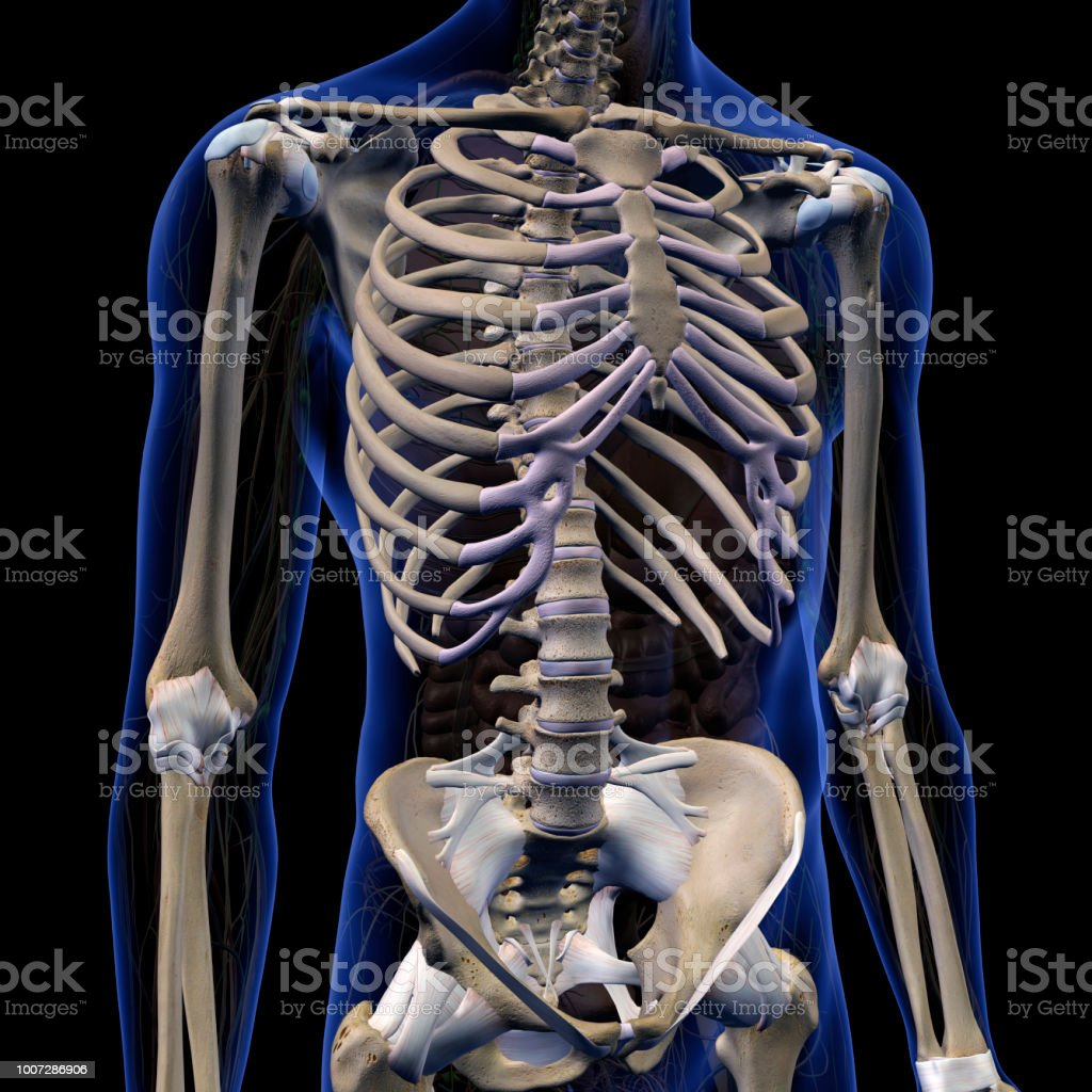 Skeletal System Internal Anatomy In Male Chest And Abdomen Stock