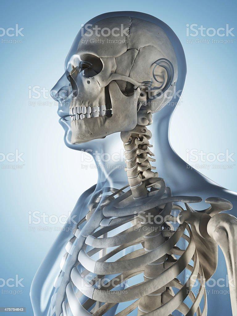 skeletal system - skull royalty-free stock photo
