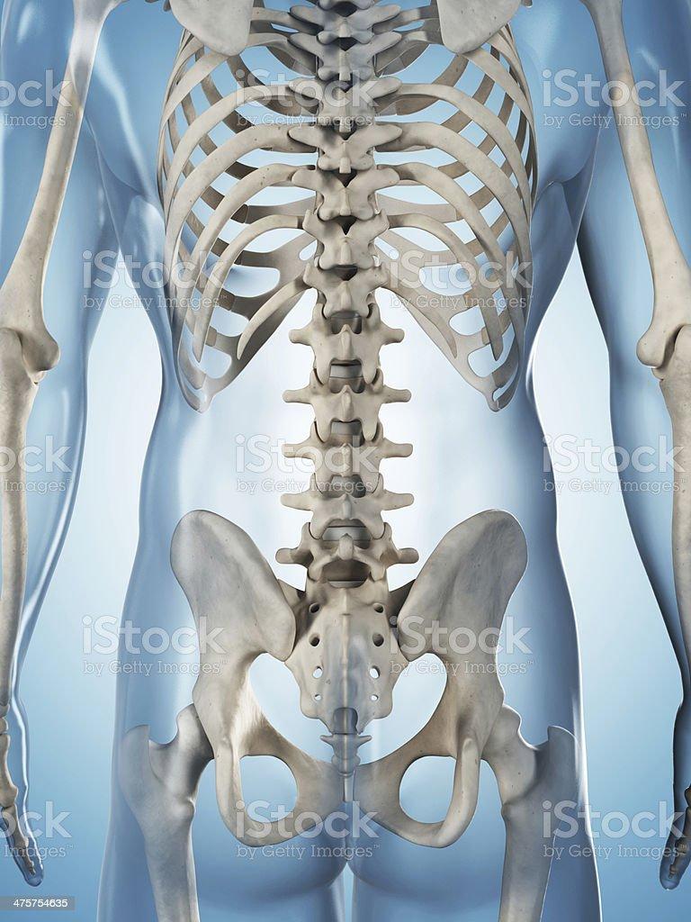 Skeletal System Spine Stock Photo 475754635 Istock