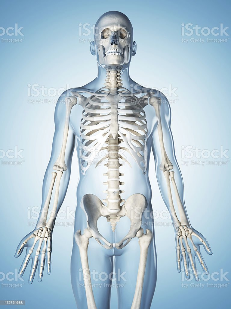 Skeletal System Upper Body Stock Photo More Pictures Of Anatomy