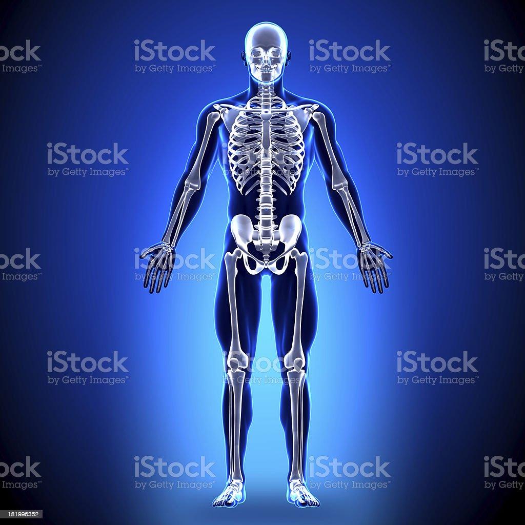 Skelettanatomie Knochen Stock-Fotografie und mehr Bilder von ...