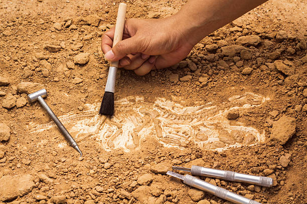 Skeleton and archaeological tools. Skeleton and archaeological tools.Training for dig fossil.Simulated same as real digging. archaeology stock pictures, royalty-free photos & images